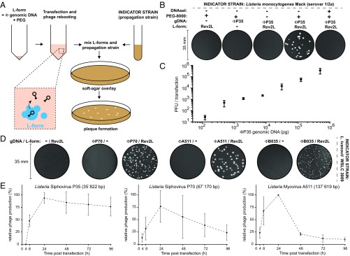 Cross-genus rebooting of custom-made, synthetic bacteriophage genomes in L-form bacteria.